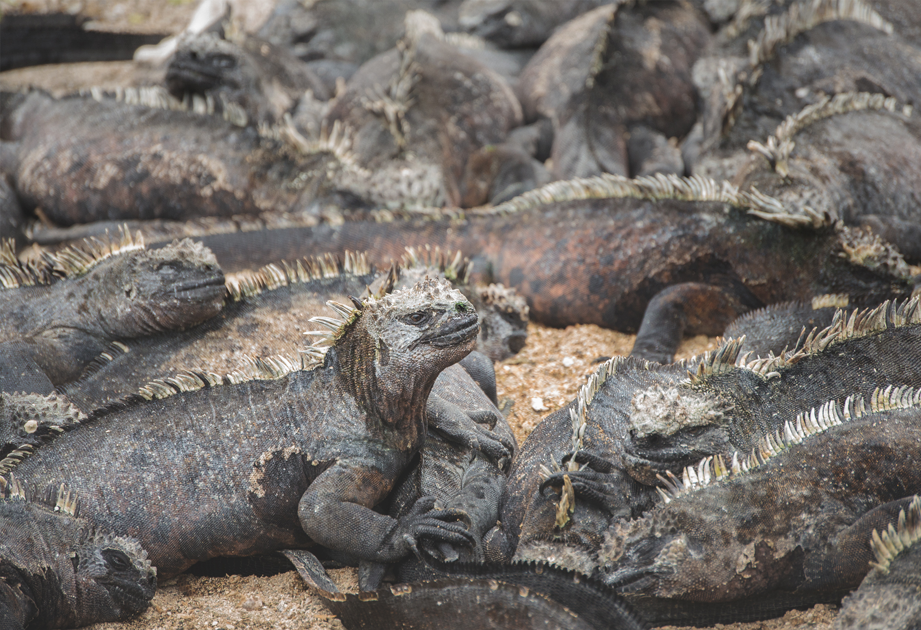 marine_iguana_2
