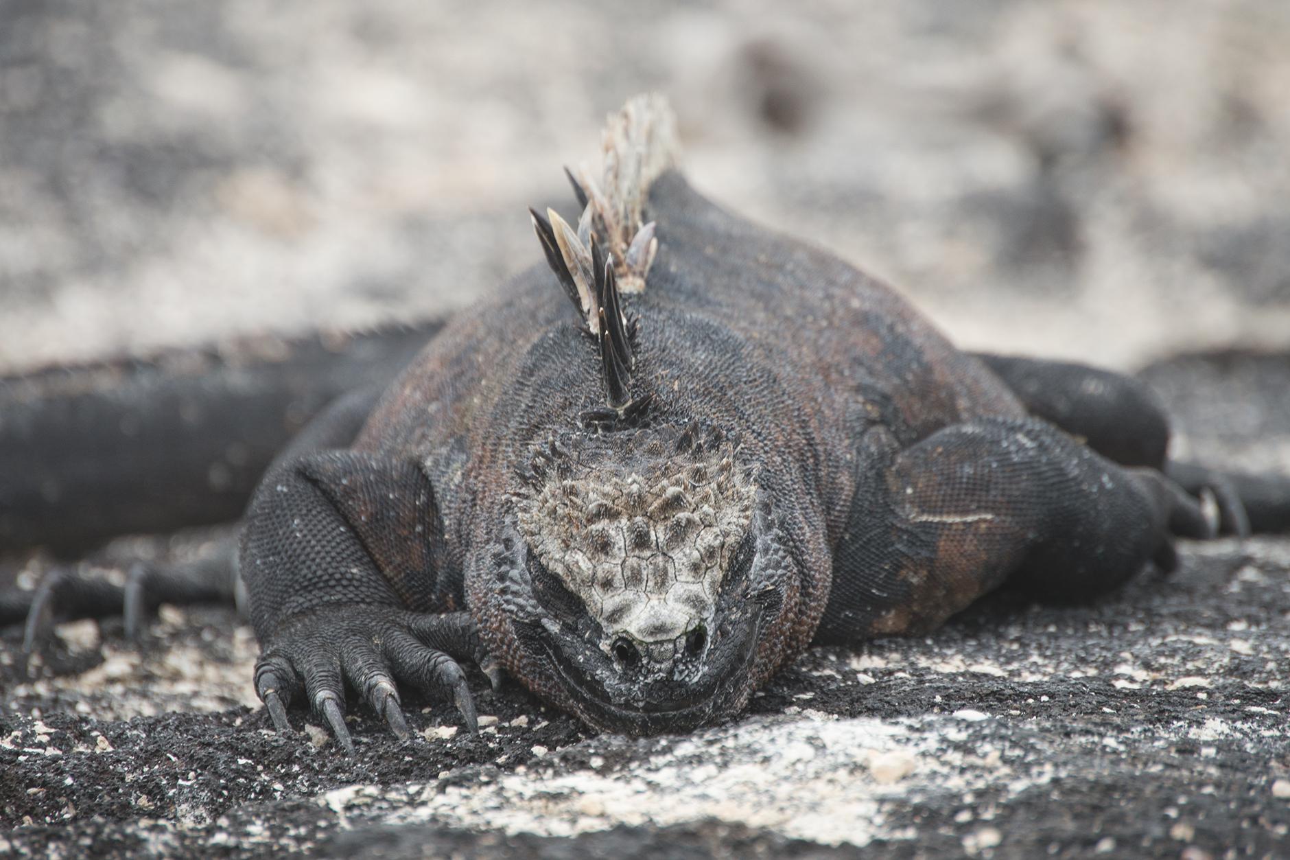 marine_iguana_3